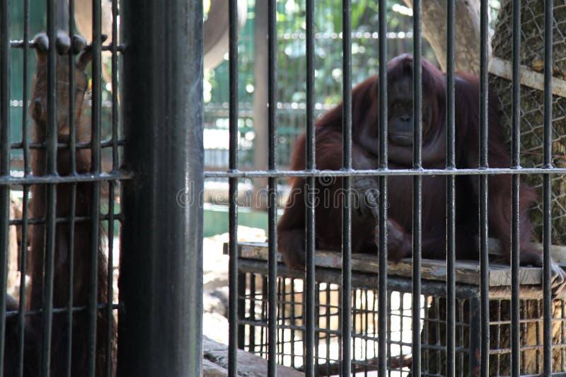 orangután enjaulado fotos de archivo libres de regalías
