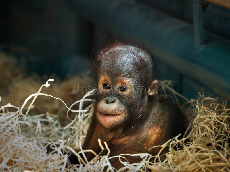 Orangután joven fotos de archivo libres de regalías