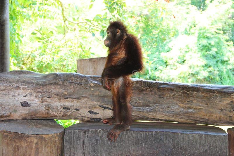 Orangután joven que se coloca en un banco de madera en el perfil Represente admitido un parque zoológico en la isla de Bali imagenes de archivo
