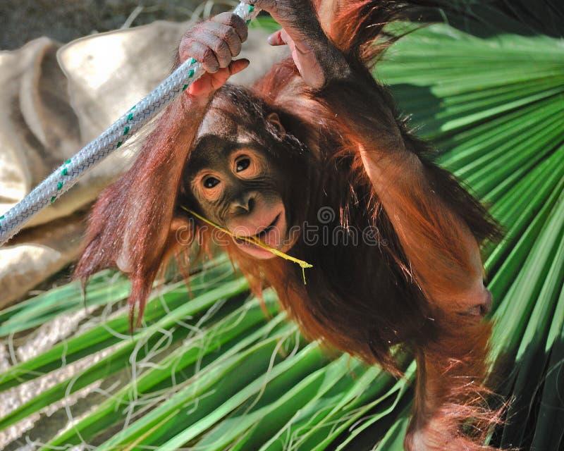 Orangután lindo del bebé imagen de archivo libre de regalías