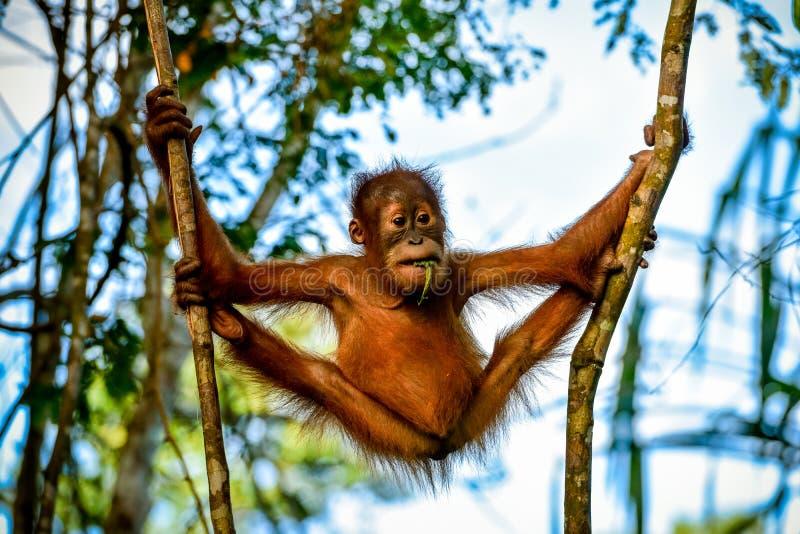 Orangután muy flexible del bebé entre los árboles Sumatra, Indonesia imagen de archivo libre de regalías