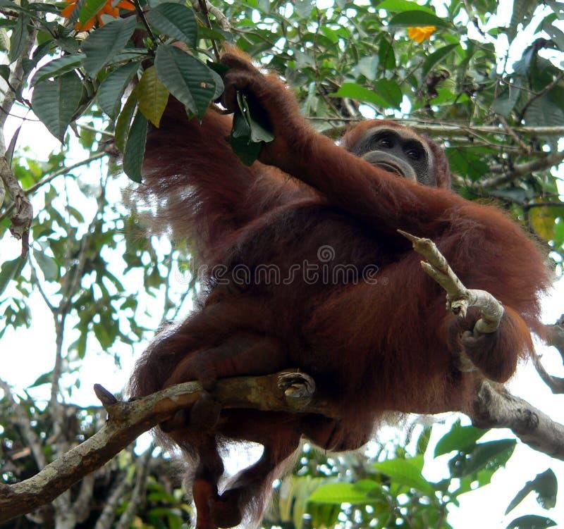 Orangután salvaje, Borneo central imagen de archivo libre de regalías