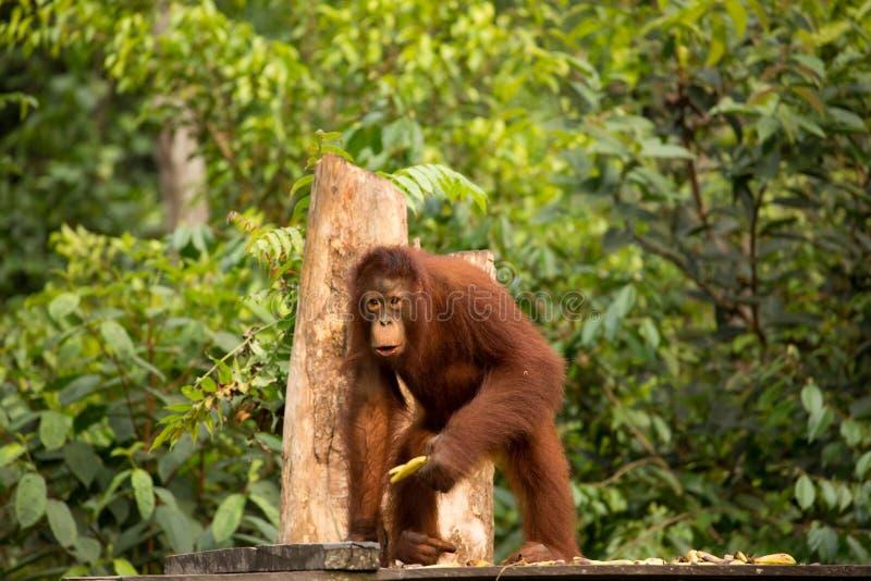 Orangután salvaje en el bosque de Borneo imagen de archivo libre de regalías
