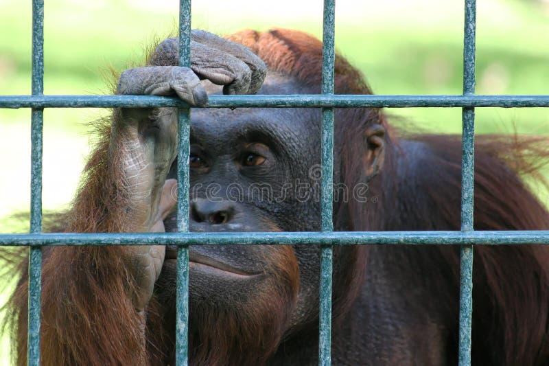 Orangután triste detrás de las barras de un parque zoológico imagenes de archivo