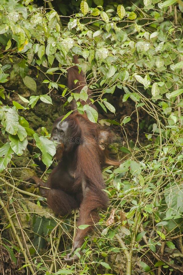 Orangután y bebé salvajes de la madre en Bush foto de archivo