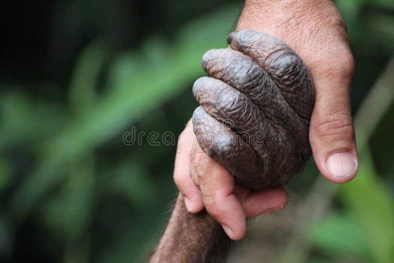Orangután y hombre foto de archivo