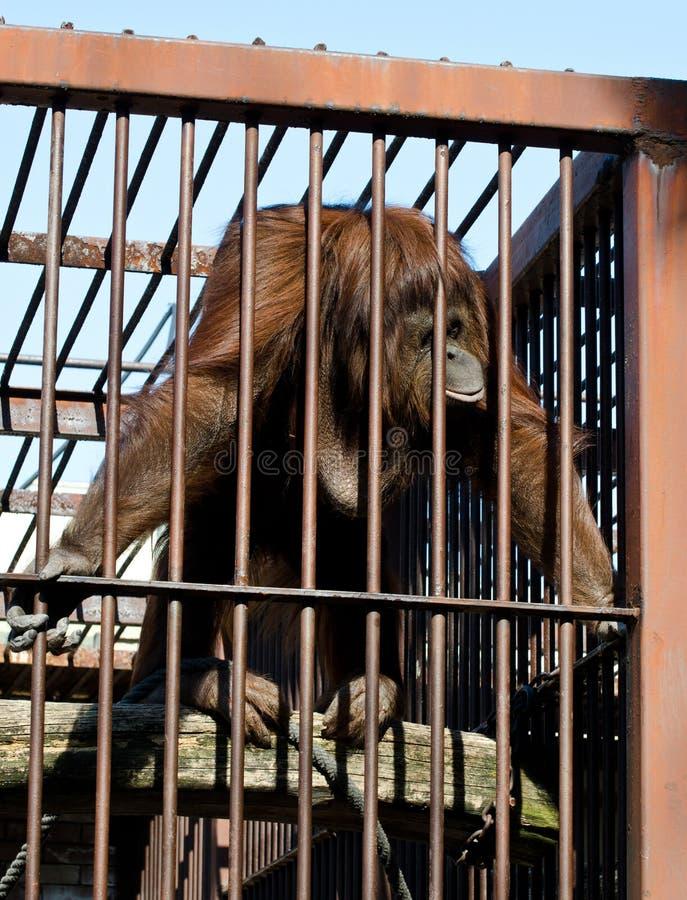Orangut?n en jaula imagenes de archivo