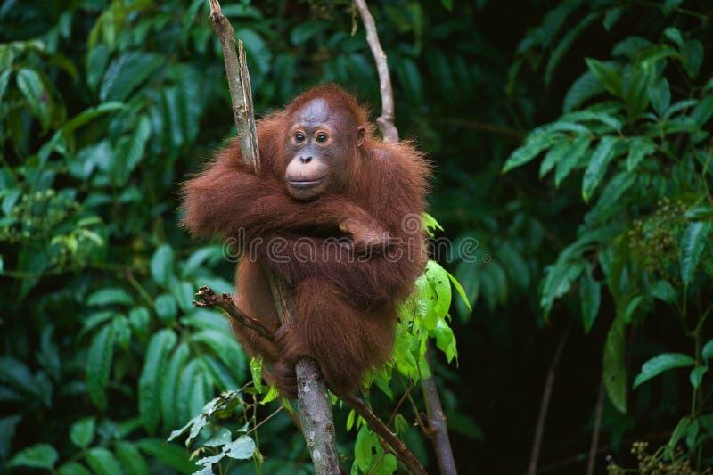 Orangut?n joven en el ?rbol imágenes de archivo libres de regalías
