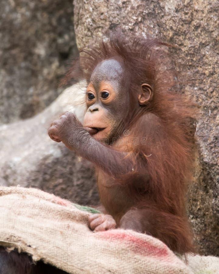 Orangutan - απορρόφηση μωρών στον αντίχειρα στοκ φωτογραφίες με δικαίωμα ελεύθερης χρήσης