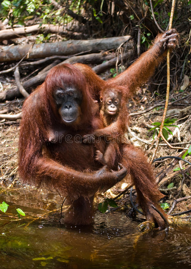 Orangutan θηλυκών και μωρών πόσιμο νερό από τον ποταμό στη ζούγκλα Ινδονησία Το νησί Kalimantan & x28 Borneo& x29  στοκ εικόνες