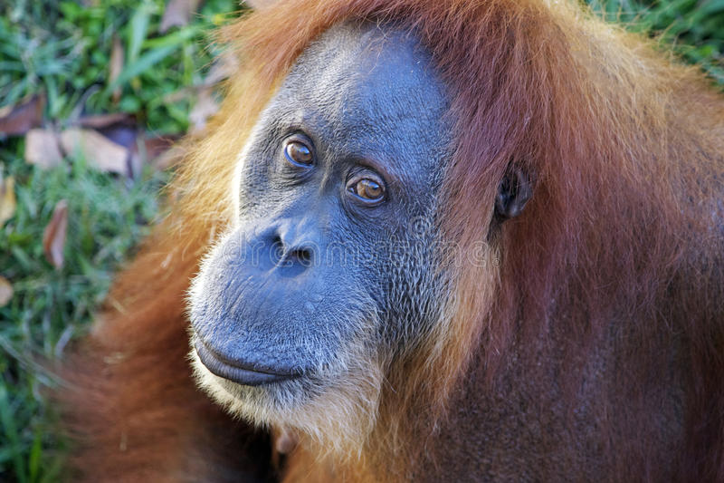 Download Orangutan κινηματογράφηση σε πρώτο πλάνο που εξετάζει τη κάμερα Στοκ Εικόνα - εικόνα από κλείστε, αδιάφορα: 62720119