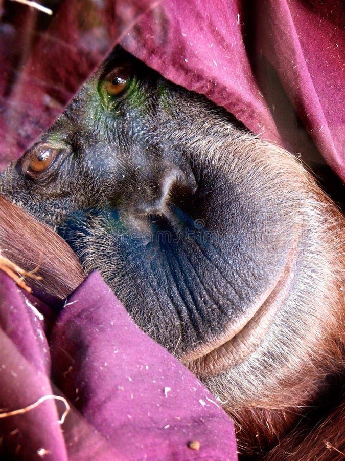 Orangutan κοίταγμα ματιών προσώπου στοκ φωτογραφίες