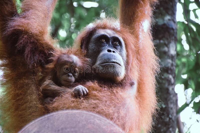 Orangutan μητέρων και μωρών ένωση από ένα δέντρο στο τροπικό δάσος Sumatra, Ινδονησία στοκ εικόνα με δικαίωμα ελεύθερης χρήσης