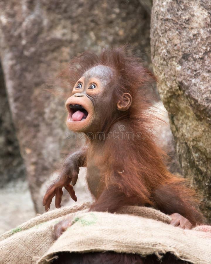 Orangutan - μωρό το τρελλό βλέμμα στοκ φωτογραφία