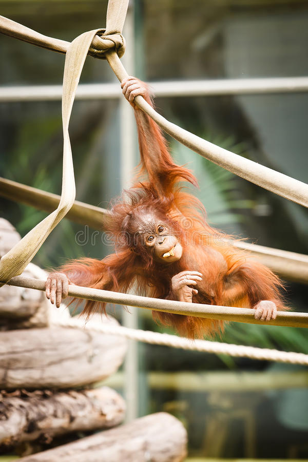 Orangutan μωρό στοκ φωτογραφίες με δικαίωμα ελεύθερης χρήσης