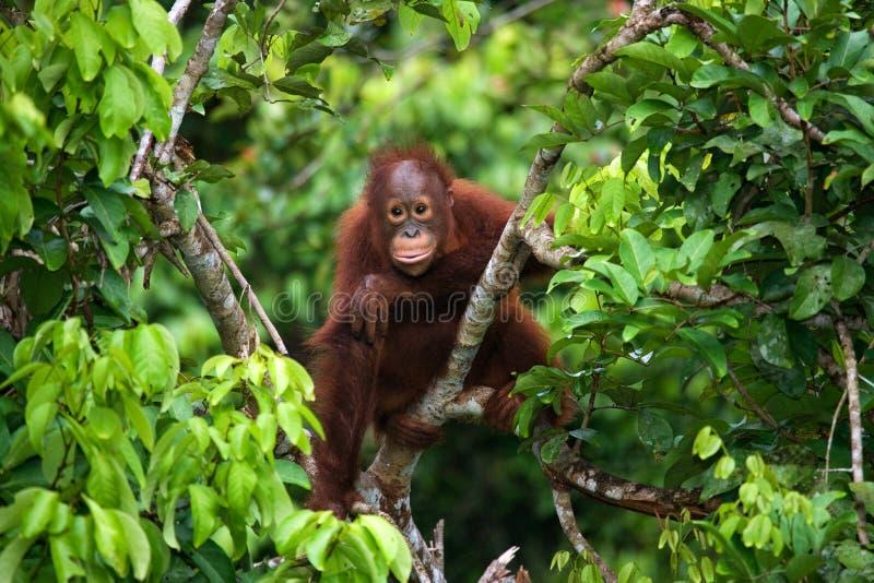 Orangutan μωρών στις άγρια περιοχές Ινδονησία Το νησί Kalimantan & x28 Borneo& x29  στοκ φωτογραφία με δικαίωμα ελεύθερης χρήσης
