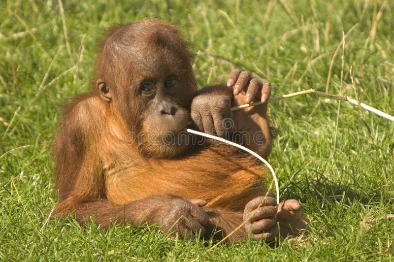orangutan μωρών στοκ εικόνες