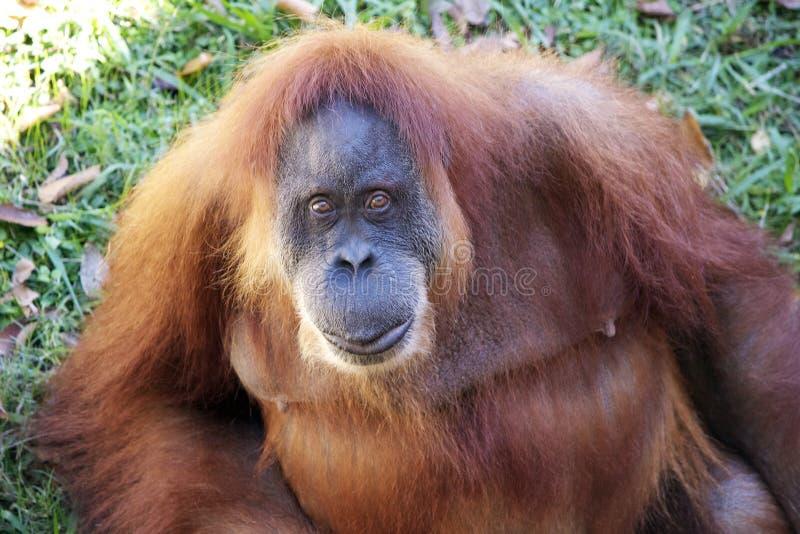 Download Orangutan που εξετάζει τη κάμερα Στοκ Εικόνα - εικόνα από λαθροκυνηγοί, χείλια: 62720627