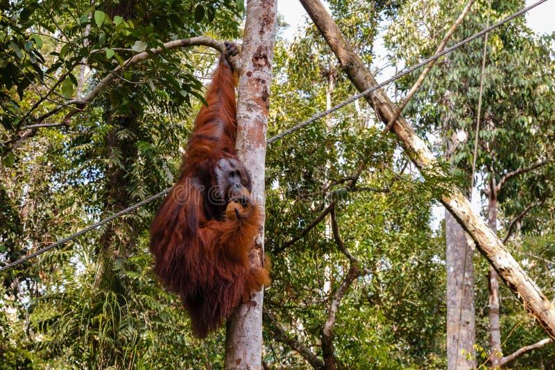 Orangutan που κάθεται ένα δέντρο στοκ φωτογραφίες