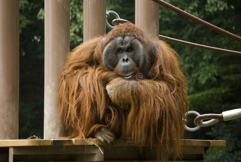 orangutan σκέψη στοκ φωτογραφίες