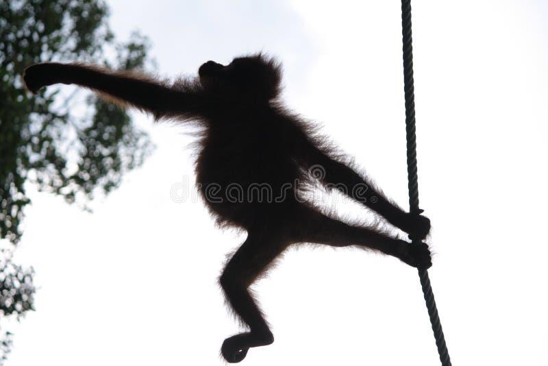 Orangutan σκιαγραφία στοκ εικόνα με δικαίωμα ελεύθερης χρήσης