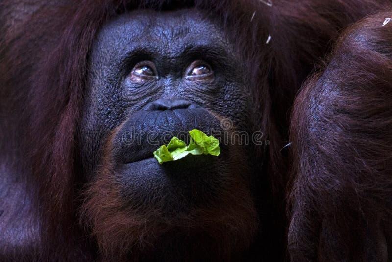 Orangutan στενό επάνω πορτρέτο πιθήκων τρώγοντας στοκ εικόνα με δικαίωμα ελεύθερης χρήσης