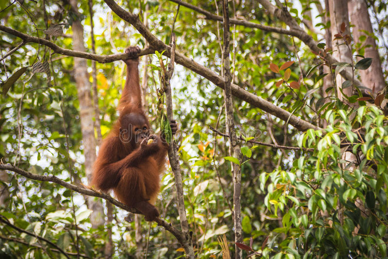Orangutan του Μπόρνεο στοκ εικόνα με δικαίωμα ελεύθερης χρήσης