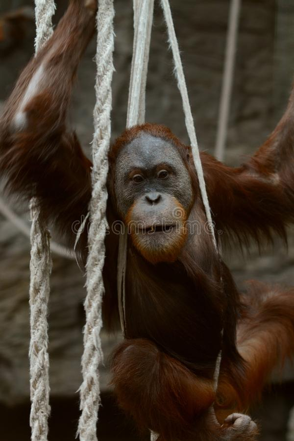 Orangutan в веревочках стоковые изображения rf