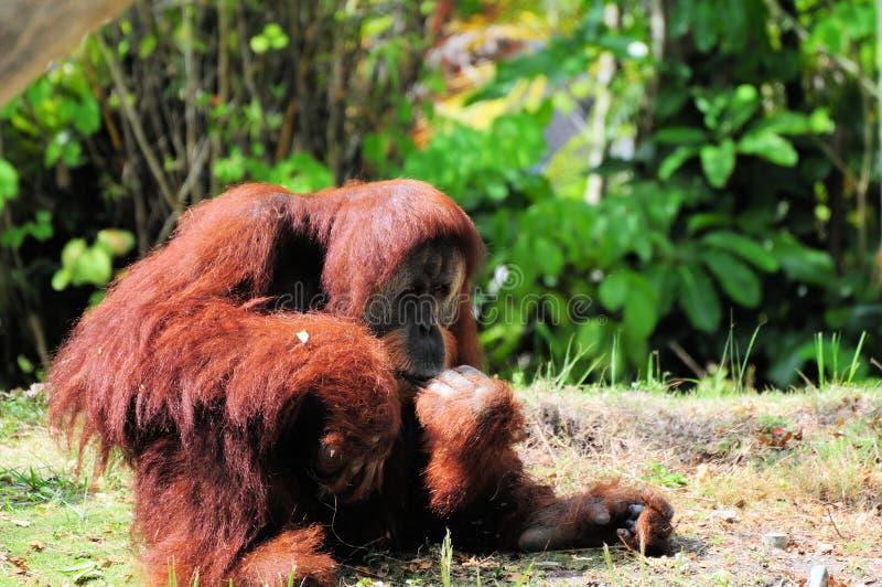 orangutan обезьяны большой стоковое фото