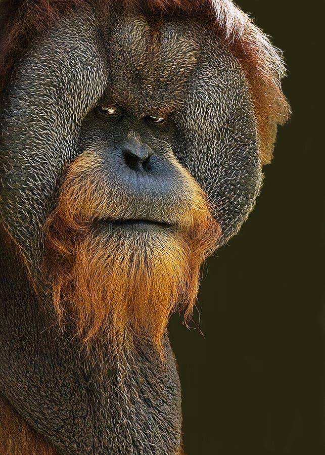 orangutan ориентации стоковые изображения rf