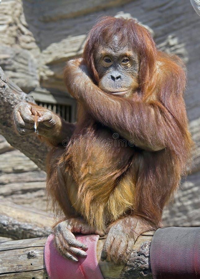 orangutan 12 arkivfoto