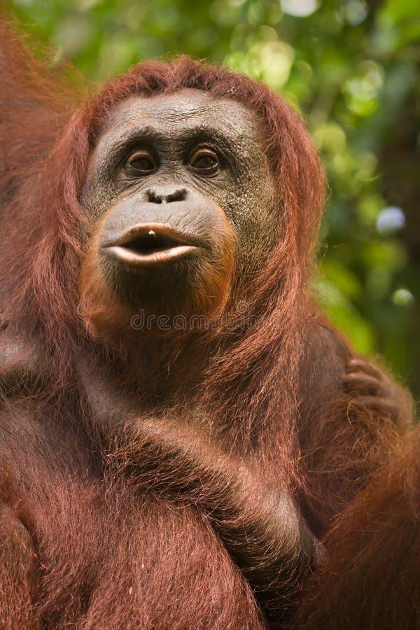 orangutan arkivbilder