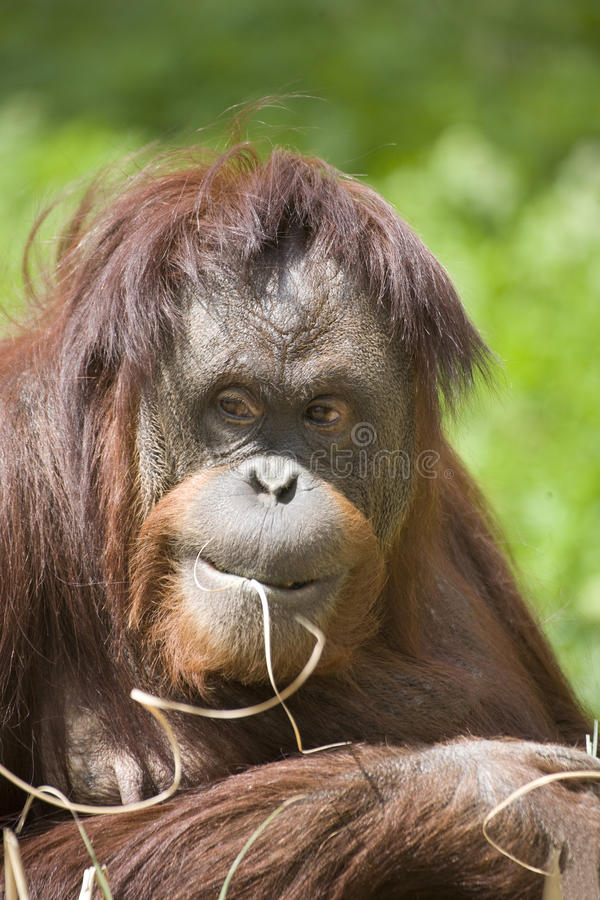 Download Orangutan stock photo. Image of exression, primate, haired - 13839158