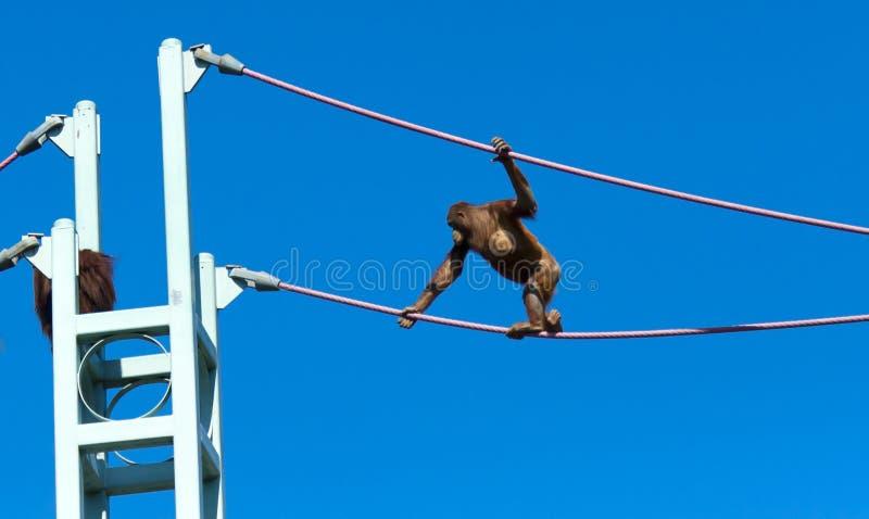 Download Orangutan stock photo. Image of line, animal, using, blue - 18504708