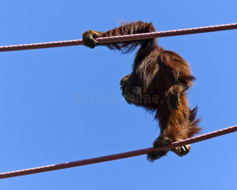 Download Orangutan stock photo. Image of crawling, exercise, lines - 18549802