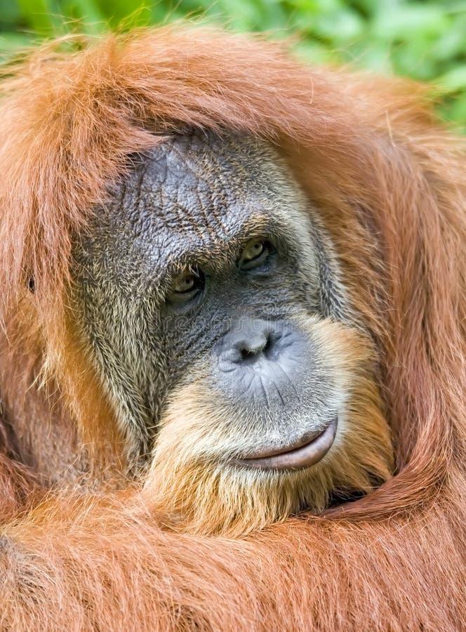 orangutan στοκ φωτογραφία με δικαίωμα ελεύθερης χρήσης