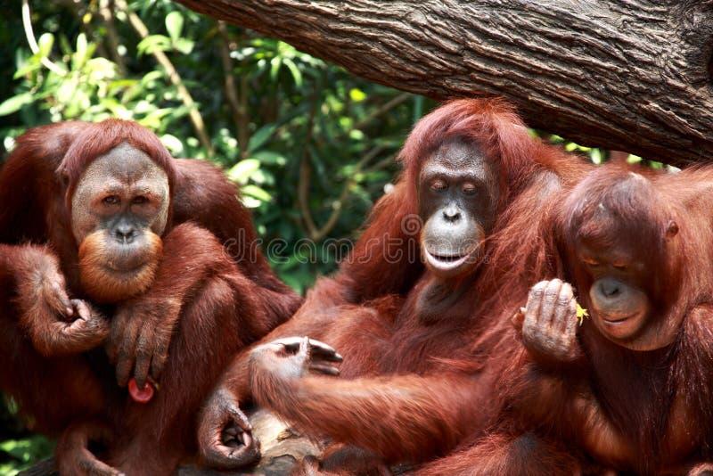 Orangutan. Three Orangutan posing infront of camera, Singapore zoo