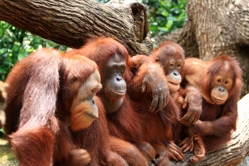 orangutan стоковая фотография rf