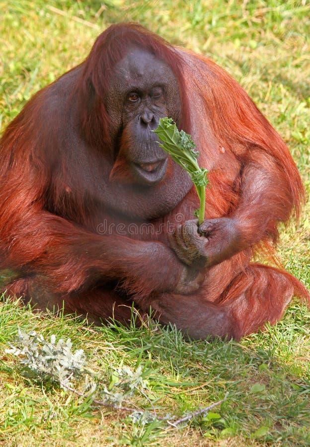 Free Orangutan Stock Images - 22472084