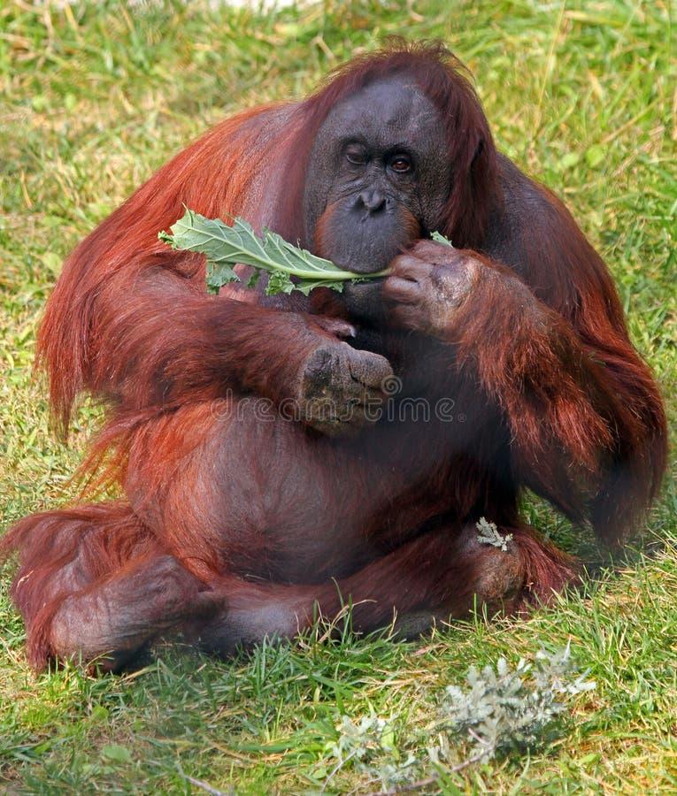 Free Orangutan Royalty Free Stock Images - 22472189