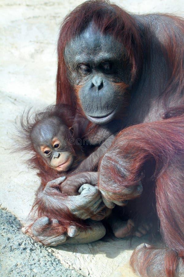 Free Orangutan Stock Photo - 23265320