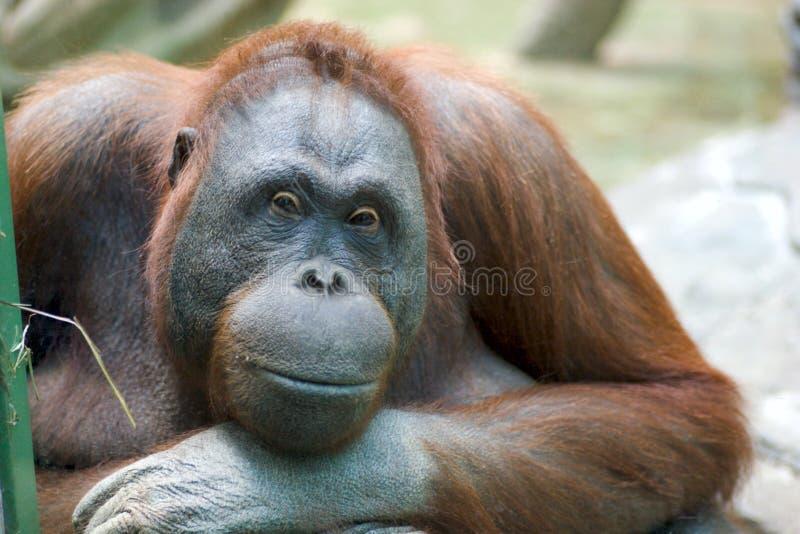 orangutan στοκ φωτογραφίες