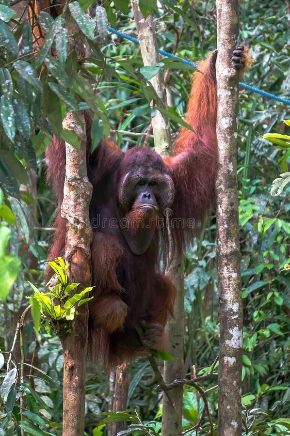 orangutan arkivbild