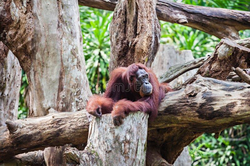 orangutan royaltyfri bild