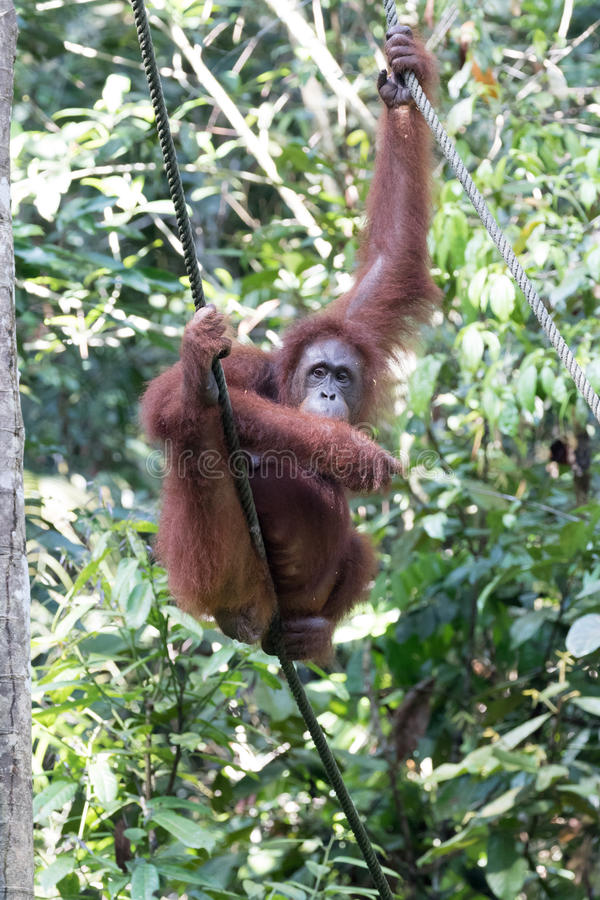 orangutan royaltyfri fotografi