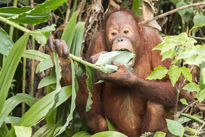 orangutan royaltyfria foton