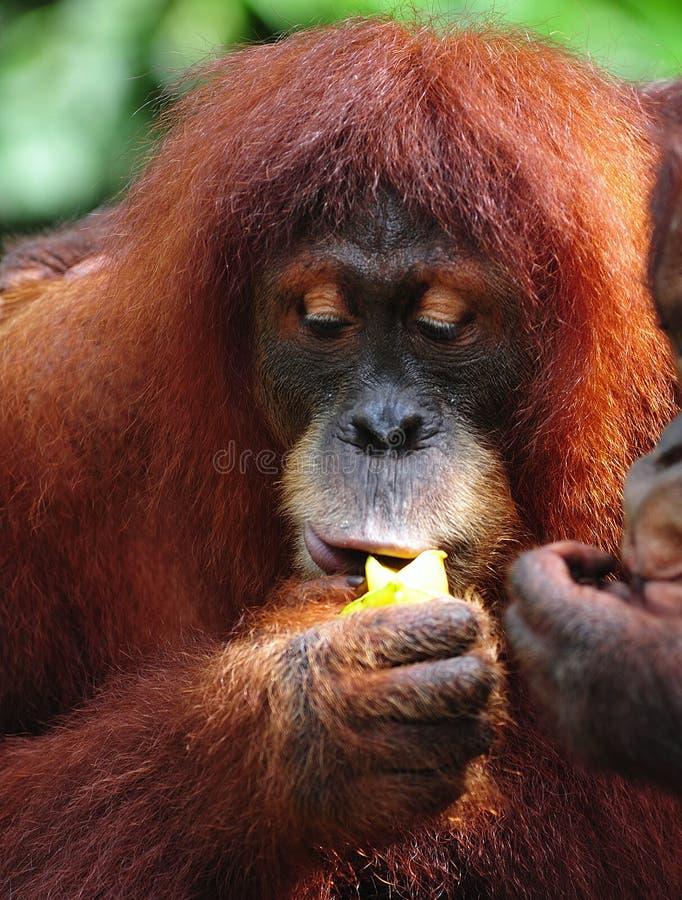 Download Orangutan stock photo. Image of mammalia, outang, arms - 7652518