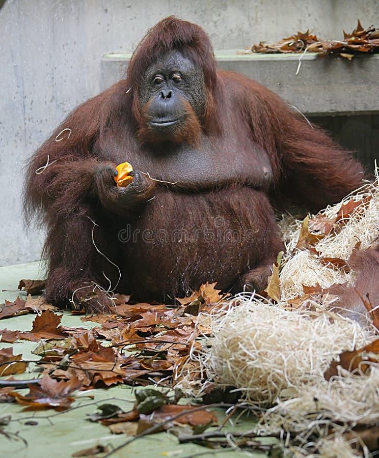 orangutan 8 стоковые фото