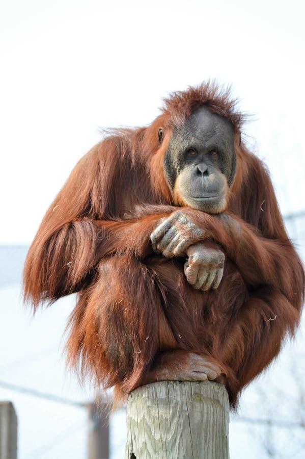 Free Orangutan Royalty Free Stock Photo - 80451805