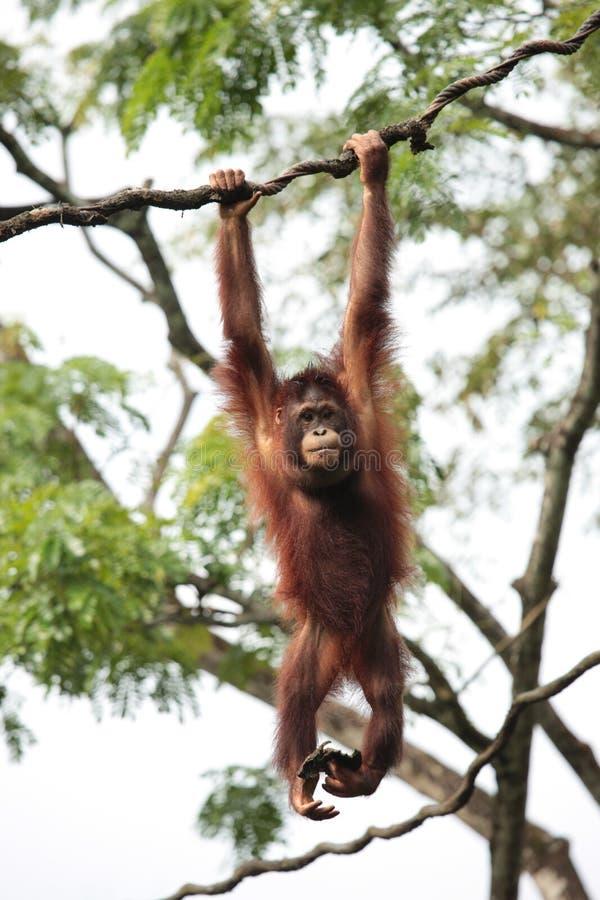 orangutan fotografering för bildbyråer